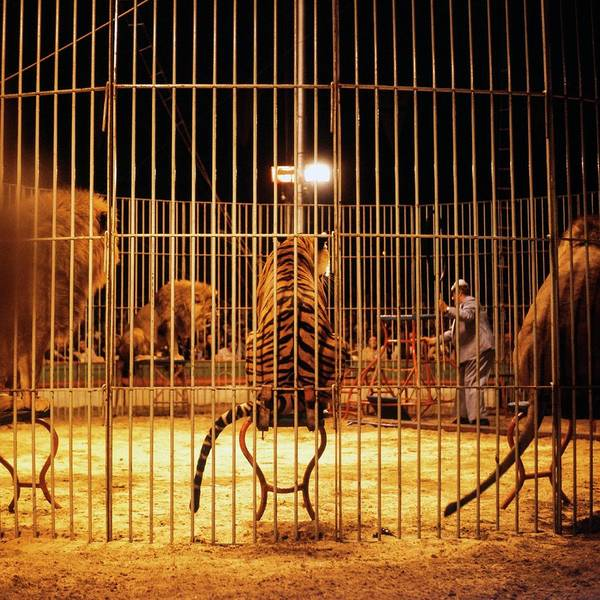 Controversial Photograph - Big Cat Circus Act by Ton Kinsbergen
