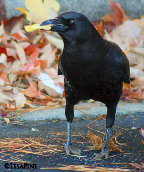 Photograph - Big Daddy Crow Leaf Picker by Lesa Fine