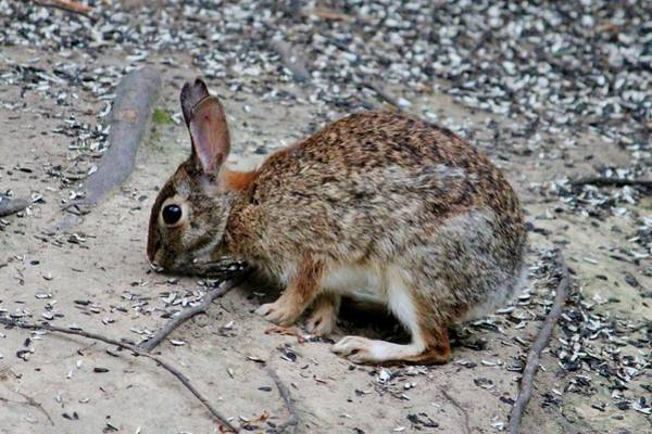 Photograph - Wild Rabbit by Cynthia Guinn