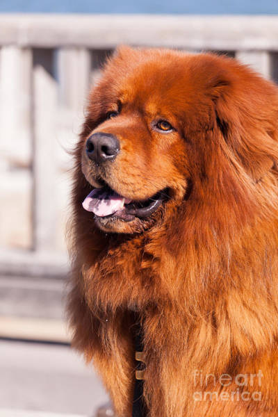 Photograph - Big Fluffy Dog 5d29703 by Wingsdomain Art and Photography