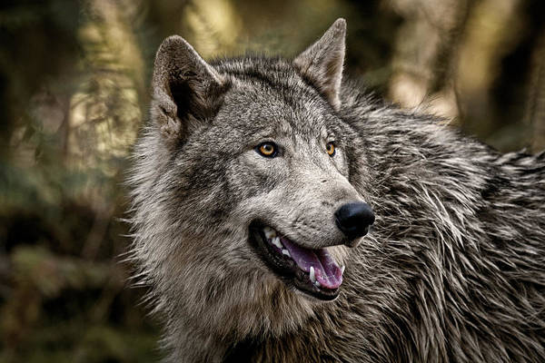 Photograph - Big Good Wolf by Wes and Dotty Weber