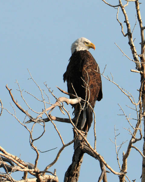 Photograph - Big Horn Bald Eagle by David Armstrong