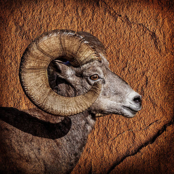 Photograph - Big Horn by Wes and Dotty Weber