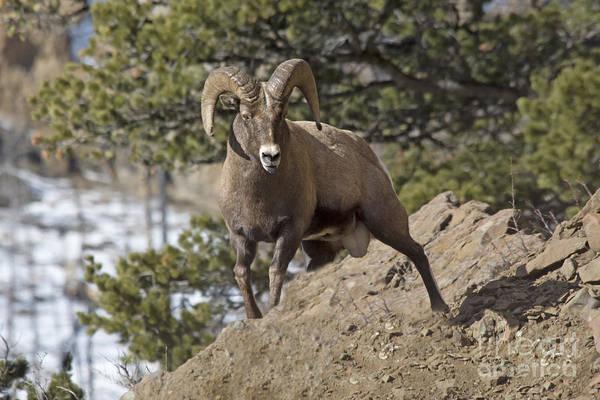 Photograph - Big Horn Ram by Gary Beeler