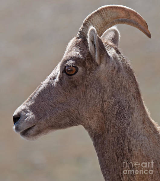 Photograph - Big Horn Sheep Ewe by Fred Stearns
