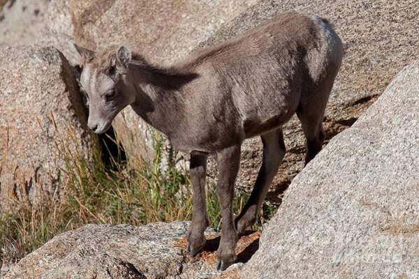Photograph - Big Horn Sheep Lamb by Fred Stearns
