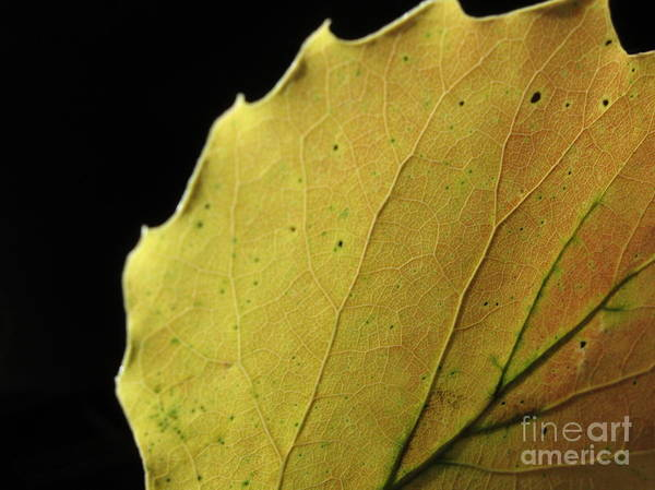 Wall Art - Photograph - Big-tooth Aspen Leaf On Black by Anna Lisa Yoder