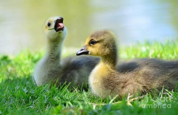Gosling Photograph - Big Yawn by Kathleen Struckle
