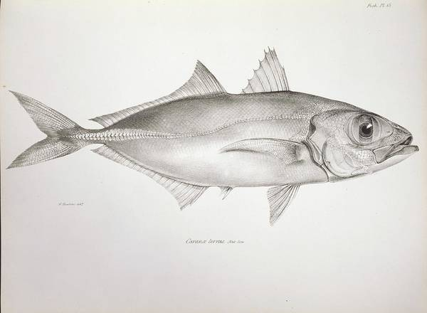 Wall Art - Photograph - Bigeye Scad by Natural History Museum, London/science Photo Library