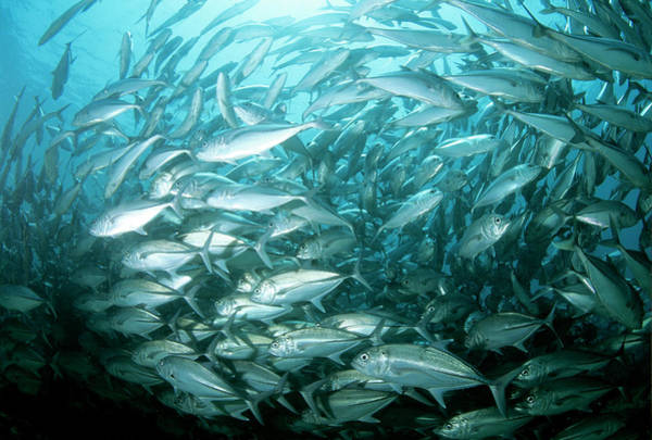 Trevally Photograph - Bigeye Trevally Fish by Louise Murray/science Photo Library