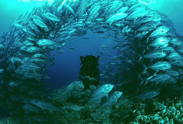 Trevally Photograph - Bigeye Trevally by Matthew Oldfield/science Photo Library