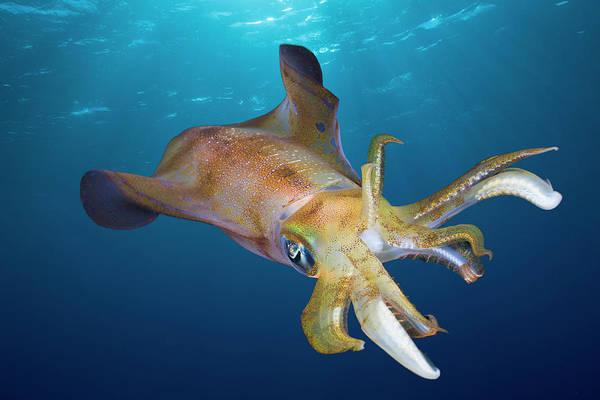 Bigfin Reef Squid Photograph - Bigfin Reef Squid Sepioteuthis by Reinhard Dirscherl