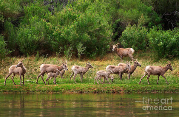 North American Wildlife Wall Art - Photograph - Bighorn Herd by Inge Johnsson