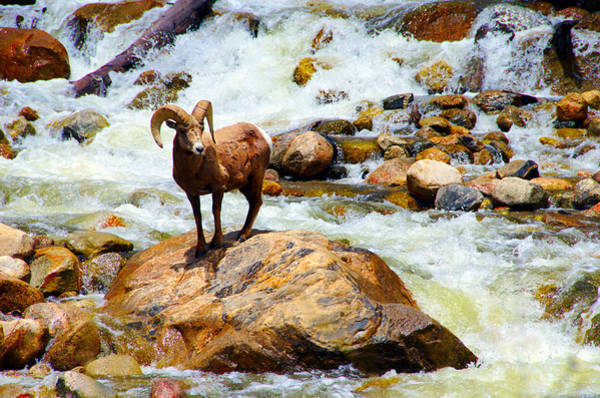 Photograph - Bighorn In A Waterfall by Tranquil Light  Photography