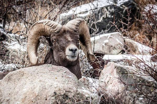 Photograph - Bighorn Sheep 1 by Karen Saunders
