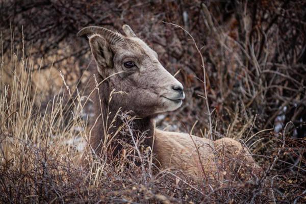 Photograph - Bighorn Sheep 2 by Karen Saunders