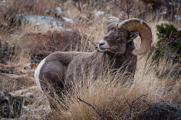 Photograph - Bighorn Sheep 3 by Karen Saunders