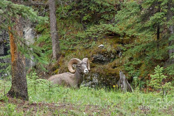 Photograph - Bighorn Sheep At Maligne Canyon by Charles Kozierok