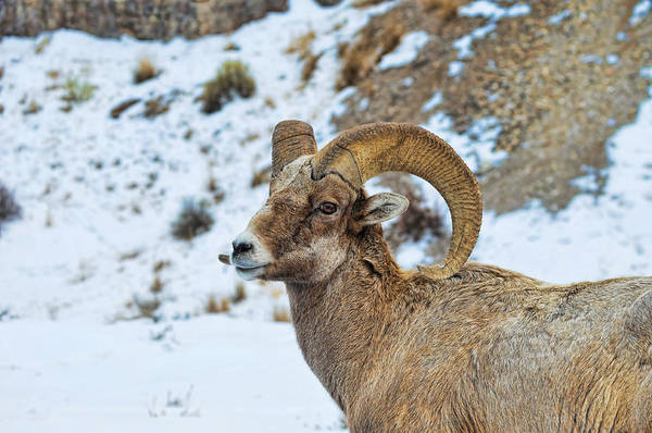 Photograph - Bighorn Sheep by David Armstrong