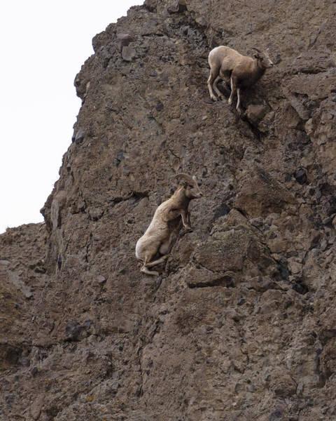 Wall Art - Photograph - Bighorn Sheep Ewe Mid-air - 3 by Greig Huggins