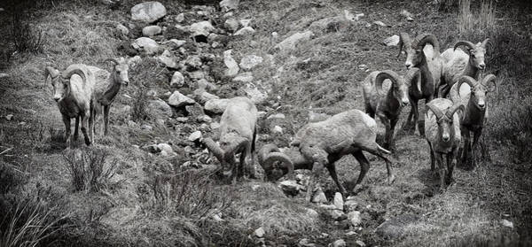 Photograph - Bighorn Sheep Family Portrait by Greg Norrell