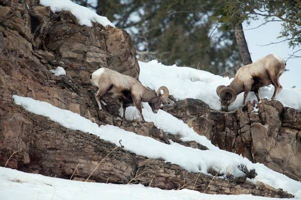 Wall Art - Photograph - Bighorn Sheep Grazing by Dr P. Marazzi/science Photo Library
