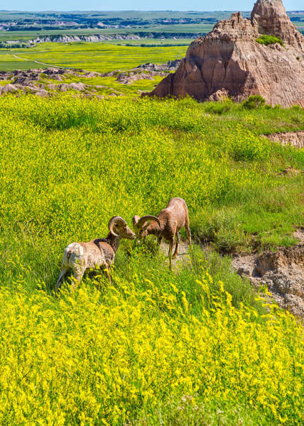 Photograph - Bighorn Sheep by John M Bailey