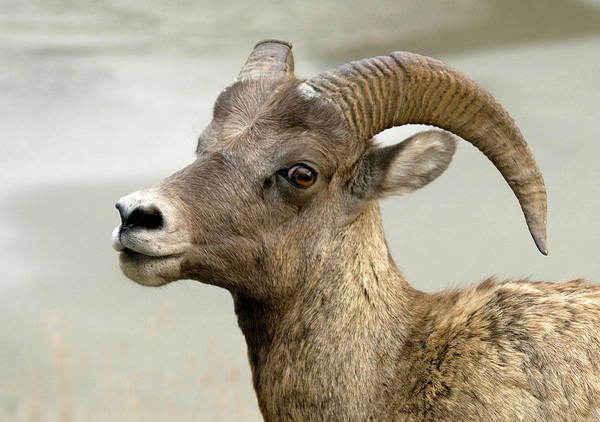 Bovine Photograph - Bighorn Sheep by Nigel Downer