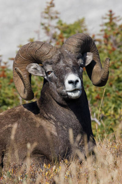 Wall Art - Photograph - Bighorn Sheep Ram Portrait by Ken Archer