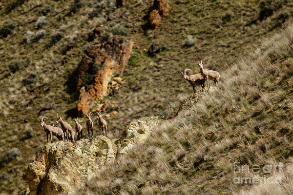 Goat Rocks Wilderness Wall Art - Photograph - Bighorn Sheep by Robert Bales