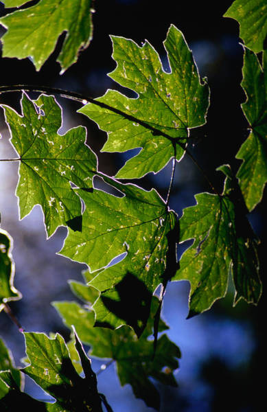 Vancouver Island Photograph - Bigleaf Maple, Also Known As Oregon by Ernest Manewal