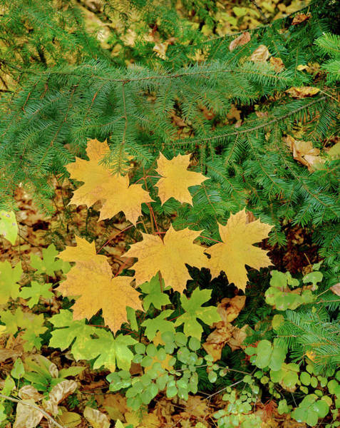 Douglas County Wall Art - Photograph - Bigleaf Maple Leaves And Douglas Fir by Panoramic Images