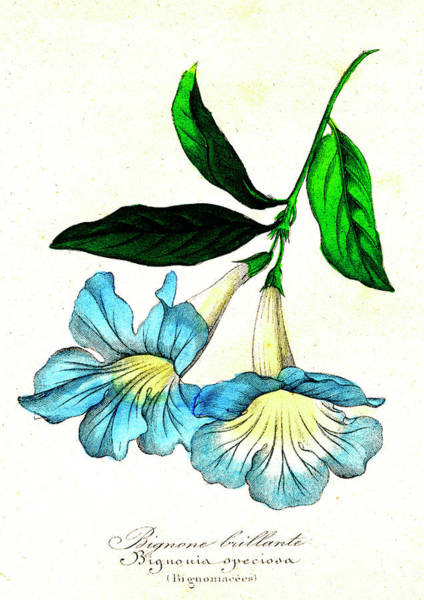 1855 Photograph - Bignonia Speciosa by Collection Abecasis/science Photo Library