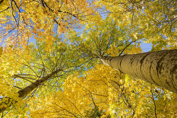 Acer Saccharum Photograph - Bigtooth Canopy by Christopher Burnett