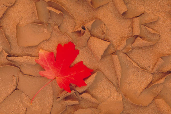 Wall Art - Photograph - Bigtooth Maple Leaf On Curled, Dried Mud by Brenda Tharp