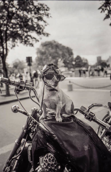 Photograph - Biker Dog by Matthew Pace
