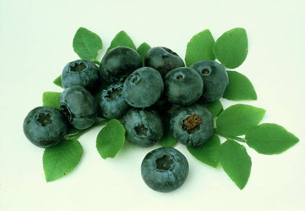 Bilberry Photograph - Bilberries by Th Foto-werbung/science Photo Library