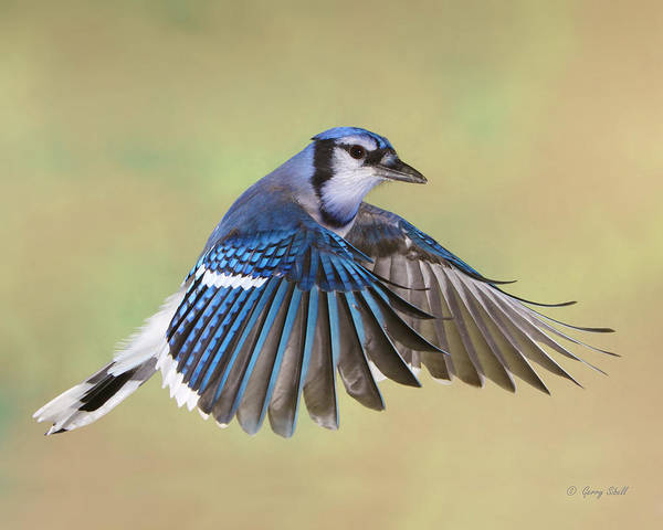 Photograph - Billy Blue Jay by Gerry Sibell