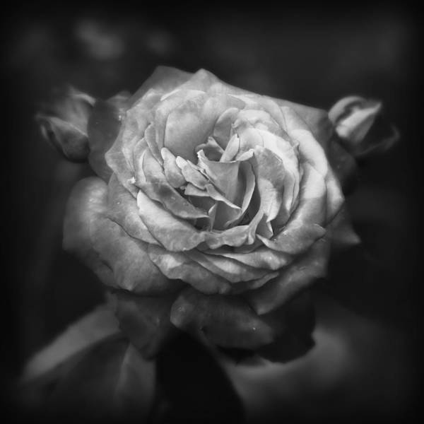 Wall Art - Photograph - Biltmore Rose -- Black And White by Stephen Stookey