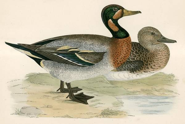 Wildfowl Photograph - Bimaculated Duck by Beverley R. Morris