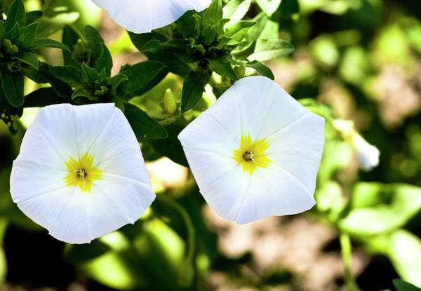 Bicolour Photograph - Bindweed (convolvulus Tricolor) Flowers by Dan Sams/science Photo Library