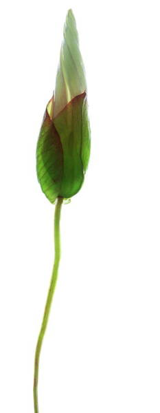 Unopened Wall Art - Photograph - Bindweed Flower (convolvulus Sp.) by Gustoimages/science Photo Library
