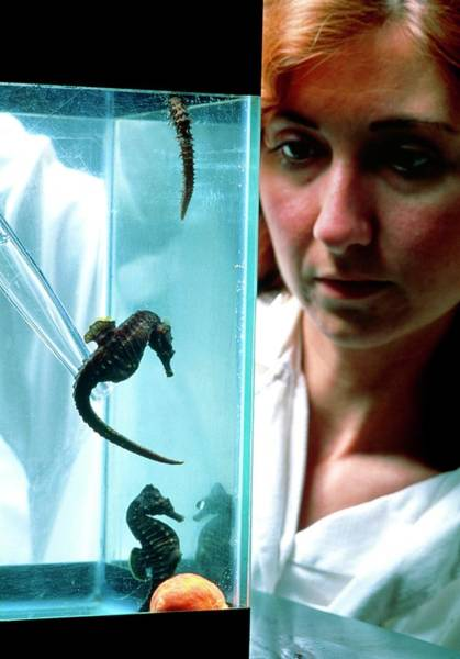 Fish Tank Photograph - Biologist Feeding Seahorses (hippocampus Sp.) by Mauro Fermariello/science Photo Library