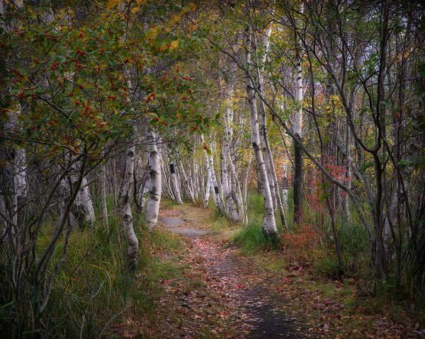 Photograph - Birch Alley 2 by Darylann Leonard Photography