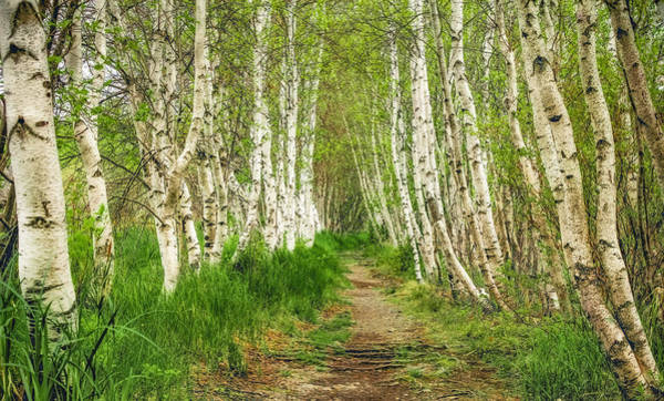 Photograph - Birch Alley by Robert Clifford