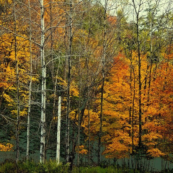 Photograph - Birch Among The Color by David Patterson