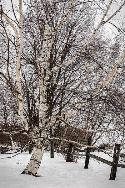 Photograph - Birch And Fence In Winter by Robert Mitchell
