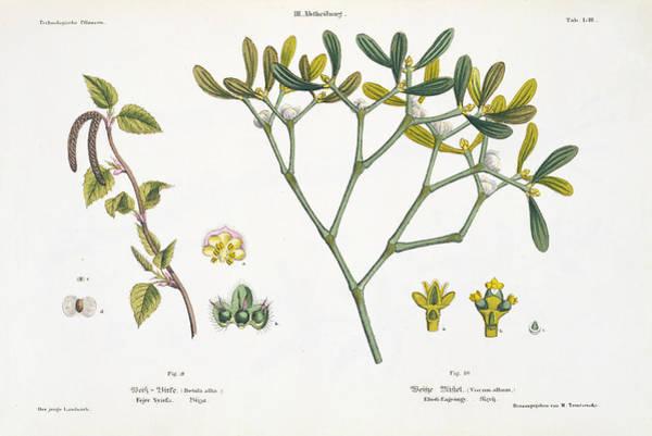 Vienna Painting - Birch And Mistletoe by Matthias Trentsensky