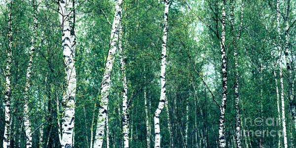 Photograph - Birch Forest - Green by Hannes Cmarits