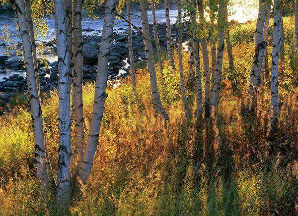 Birch River Photograph - Birch Forest by Bjorn Svensson/science Photo Library